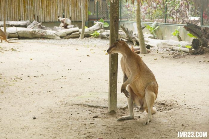 kangaroo malaysia